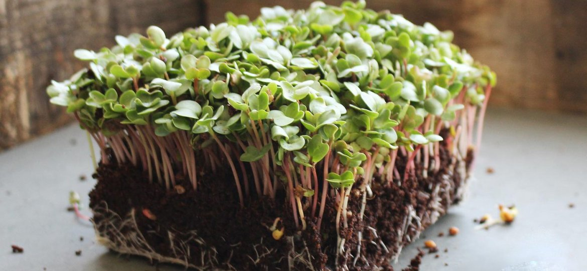 Microgreen-china-rose-4 (Demo)